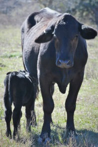 cow calf 1
